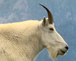 Goat Host Antibodies and Antigens