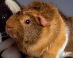 Guinea Pig Host Antibodies and Antigens