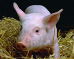 Swine Host Antibodies and Antigens
