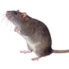 Rat Host Antibodies and Antigens