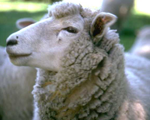 Sheep Host Antibodies and Antigens